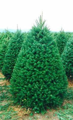 Douglas Fir Christmas Tree.Douglas Fir Christmas Tree 7 8 Gardens Tulare