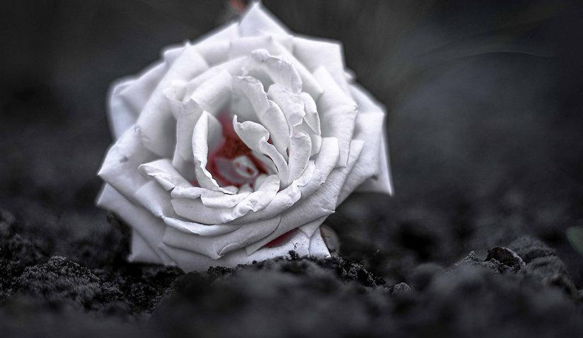 rose-4333693_1920_edited.jpg