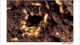 image_2018_07_formosan_termite_usda.jpg