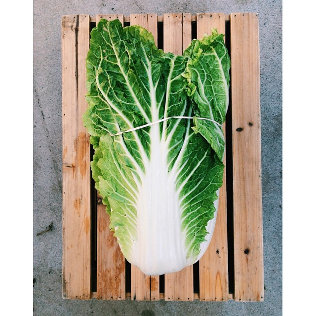 Sweet Chinese cabbage bigger than a 🏉 for market tomorrow morning! Go long!!_#hillviewfarms #auburn