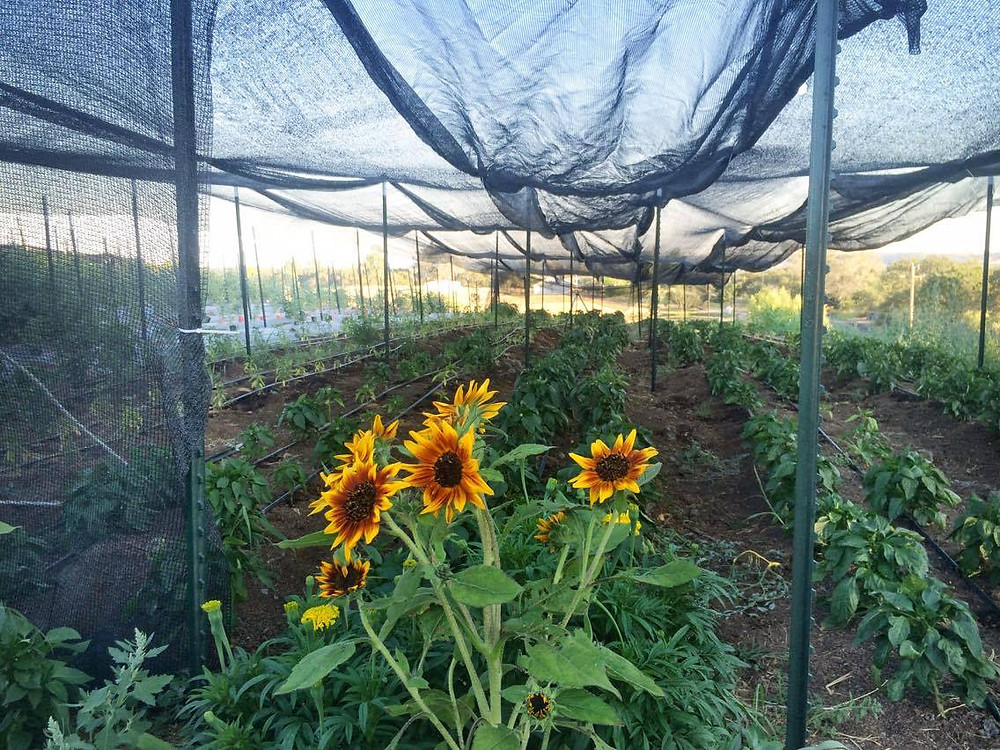 Shade cloth up over the peppers