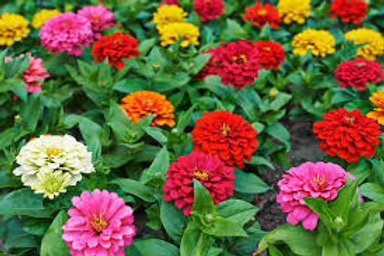Plant- Flower Zinna Benary