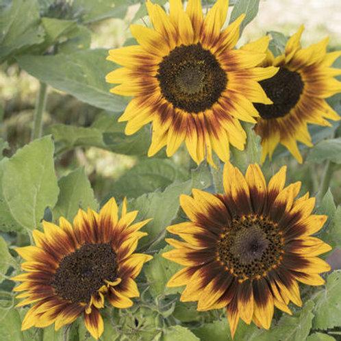 Plant- Flower, Sunflower- Ring Of Fire
