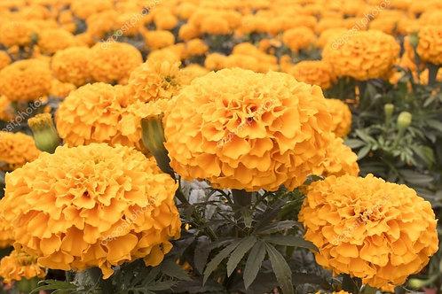 Plant- Flower, Marigold