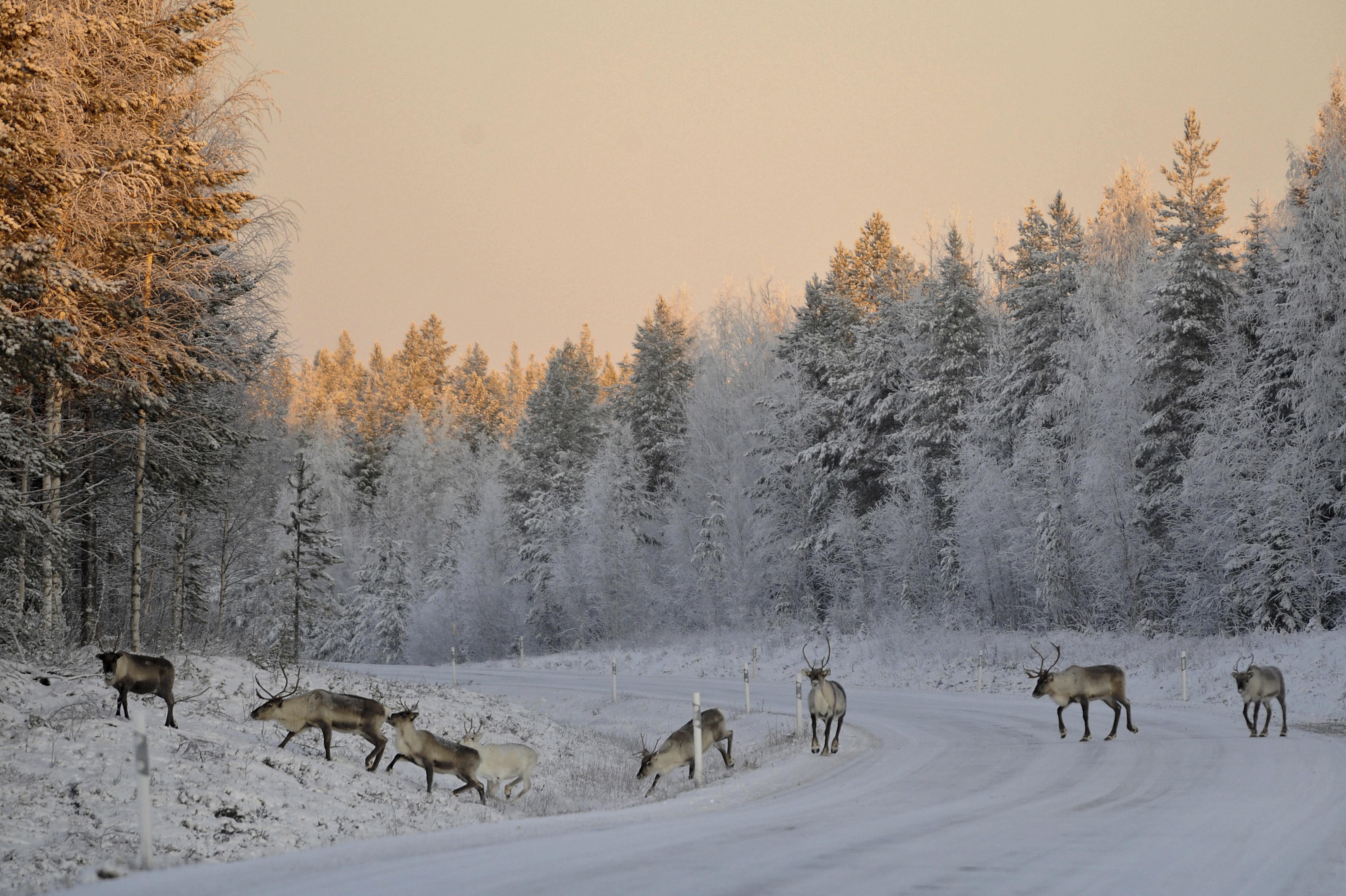 reindeer Lapland, Finland, 2008
