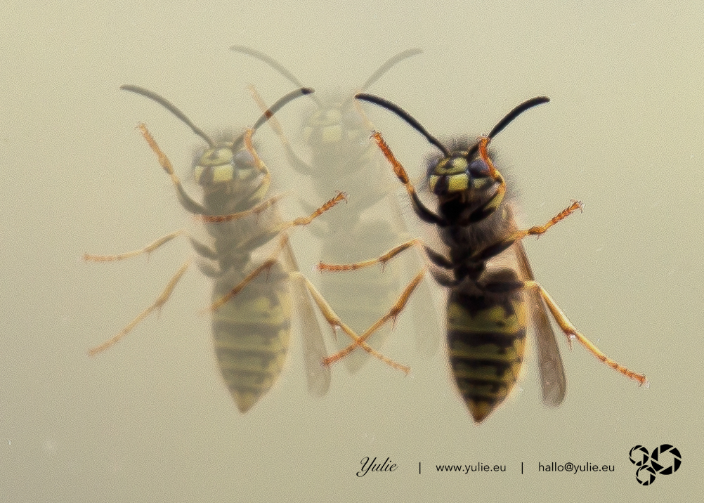 dancing Wasps1