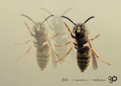 dancing Wasps1