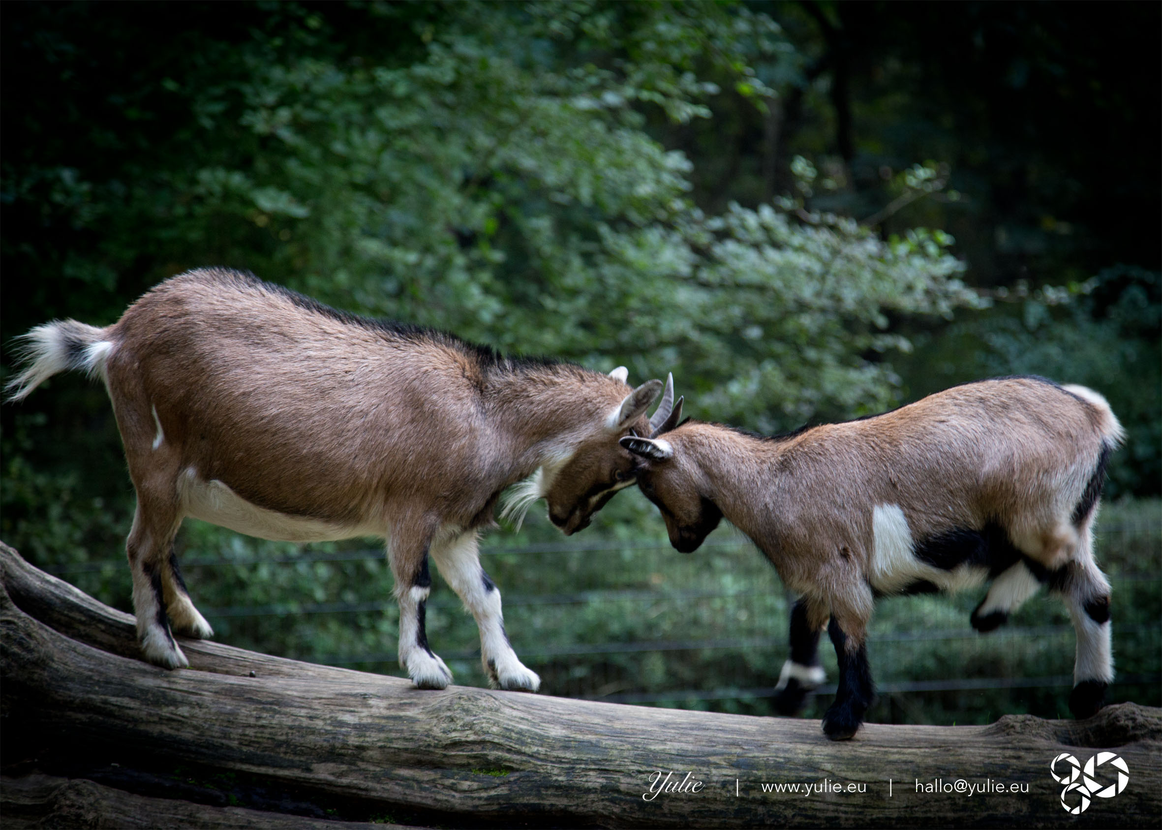 clashing horns