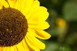 Sonnenblum