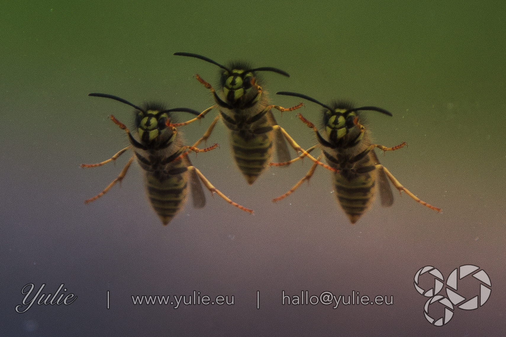 dancing Wasps2