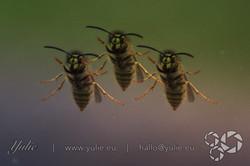 dancing Wasps2