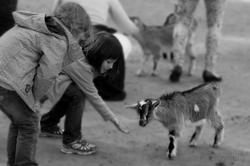 die Ziege füttern