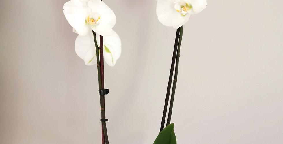 Orchichee phalaenopsis