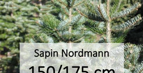 Sapin Nordmann 150/175 cm