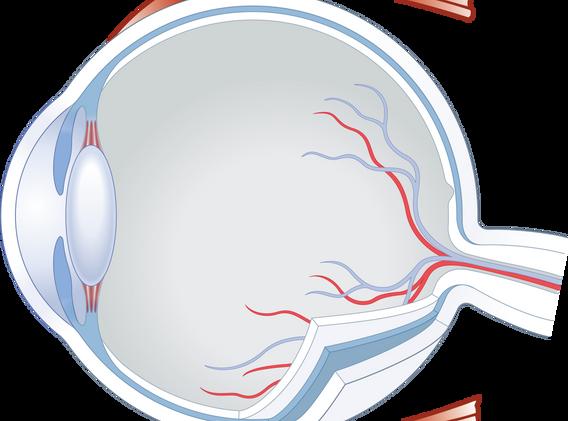 Eye choroid02.png