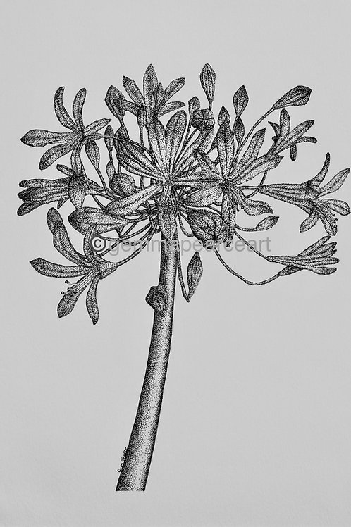 Agapanthus - Gemma Pearce Print