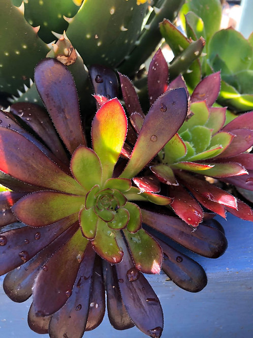 Aeonium Zwartkop - Grown on Bryher
