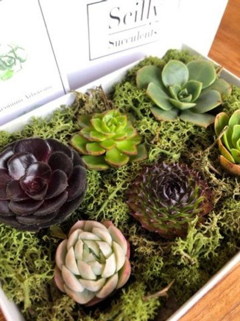 Succulent Gift Box - Grown on Bryher