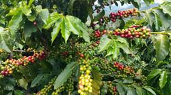 Green Coffee Cherry