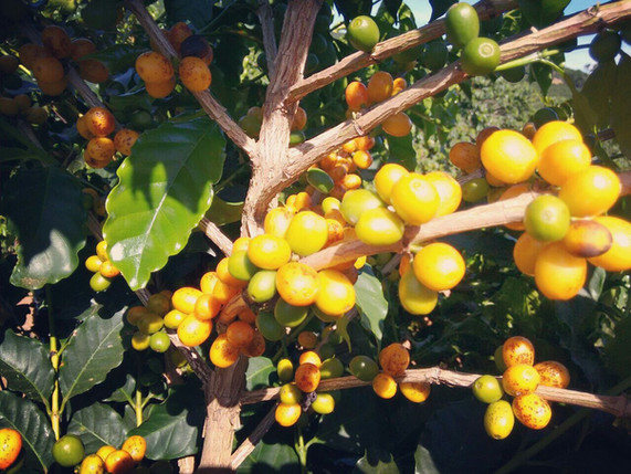 Yellow Bourban Coffee Beans