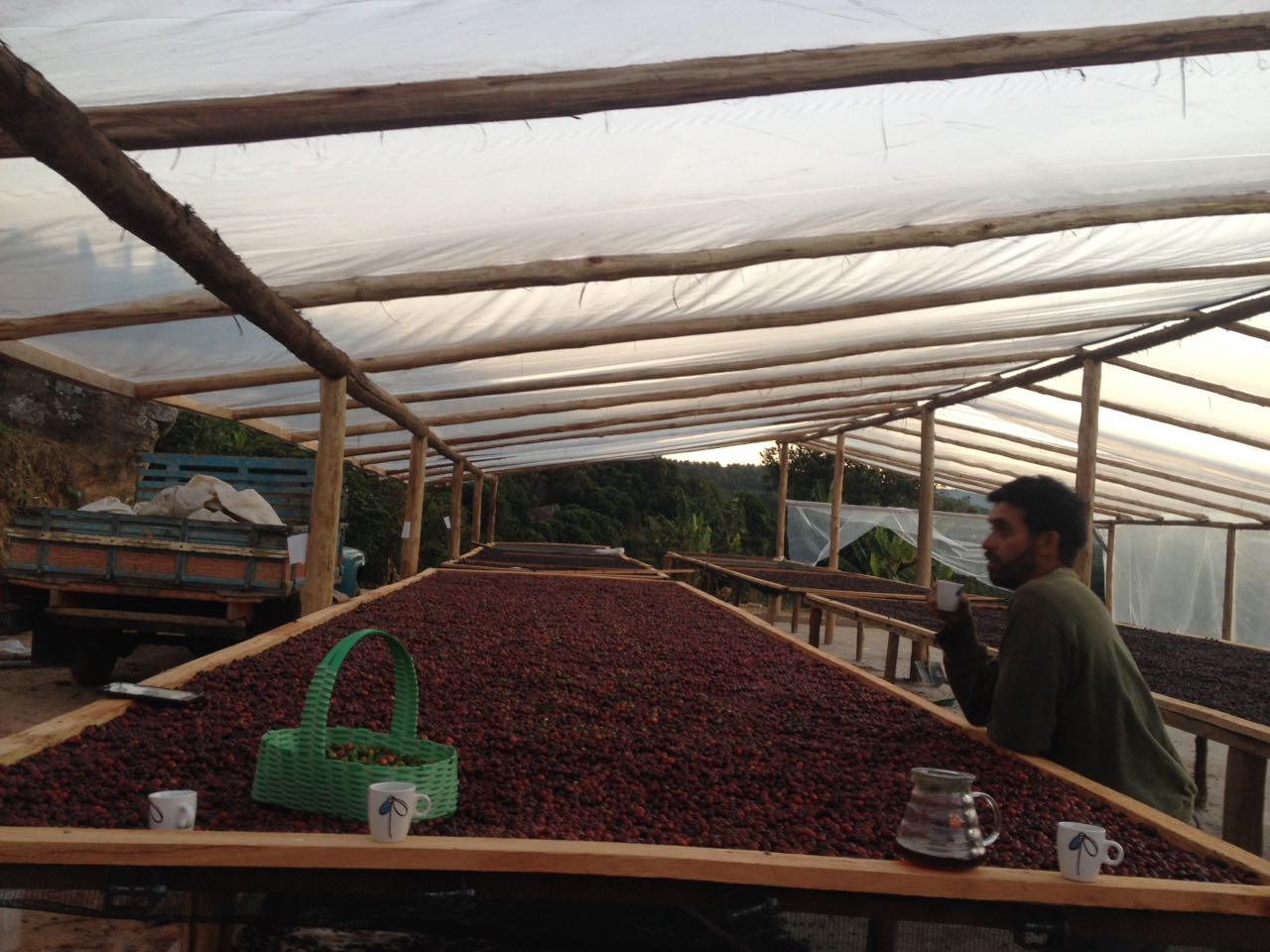 Drying Coffee On Raised Tables