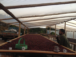 Drying Coffee On Raised Beds