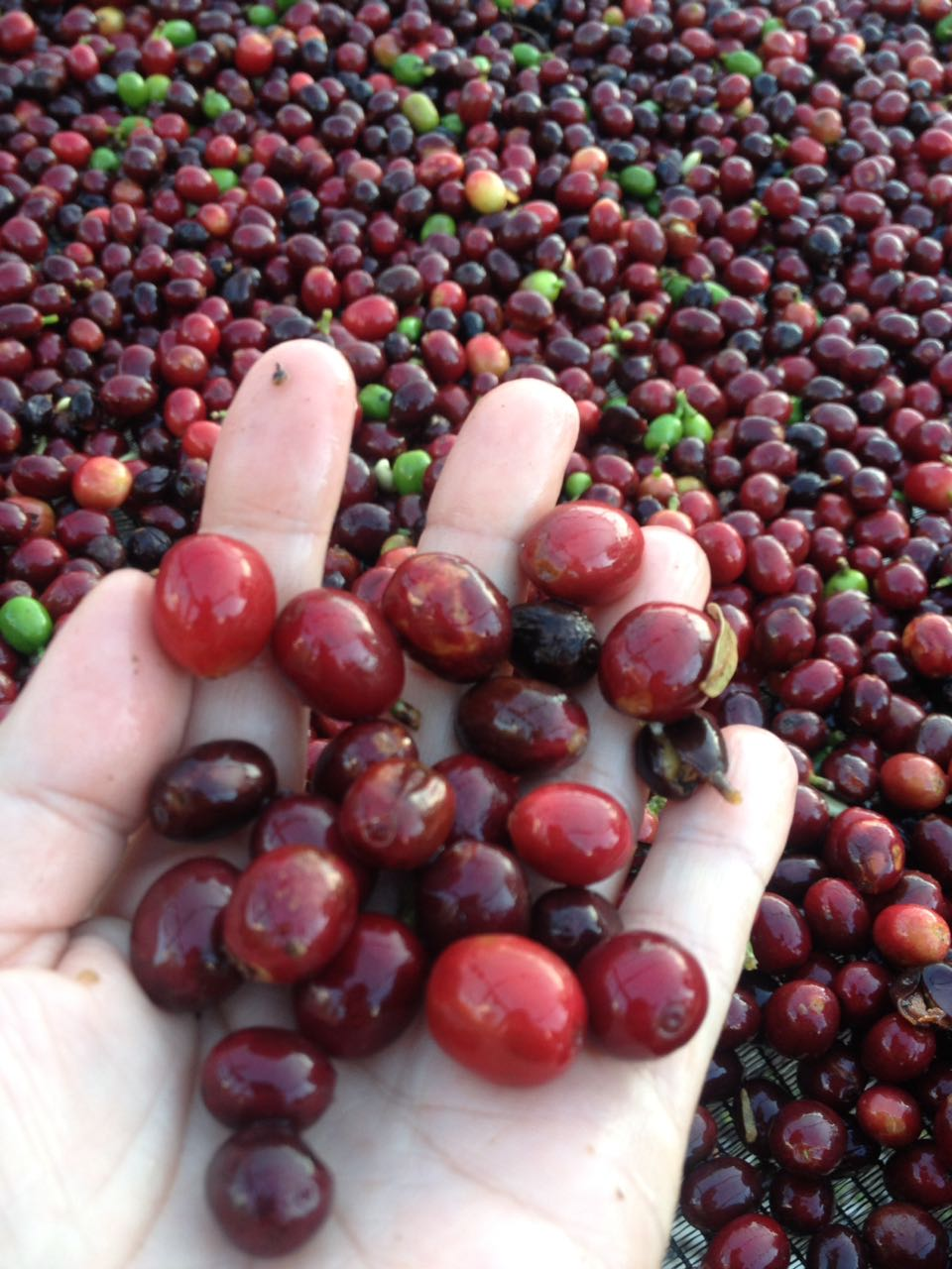 Red Coffee Cherry On Hand