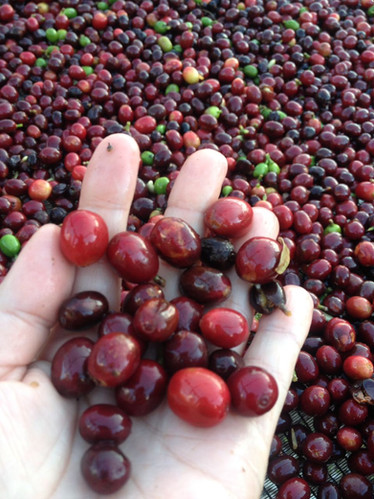 Coffee Bean Cherries