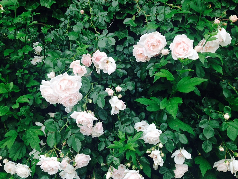 Garden-of-Beauty-Roses