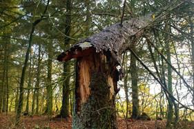 Knækket træ MOD1.jpg