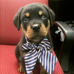 Too cute for words!! #puppy #chico #bowtie #dogsofinstagram #adorable #baby #8weeks