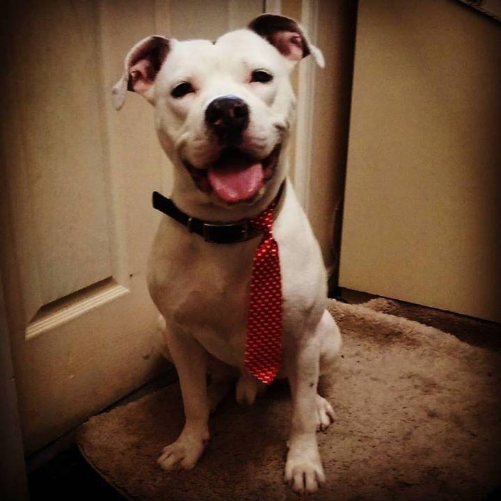 Hercules! #pitbull #pitbulls #pitsofinstagram #pitbullsofinstagram #love