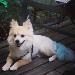 Sweet Ol' Boy! Came into #HollywoofPetSalonMI for his #summer #haircut #creative #blue #pomeranian #