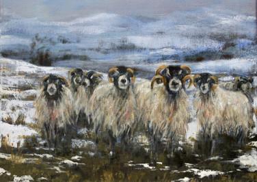 Shaggy Sheep