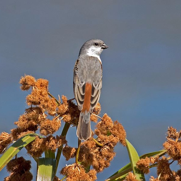 Marsh Seedeater
