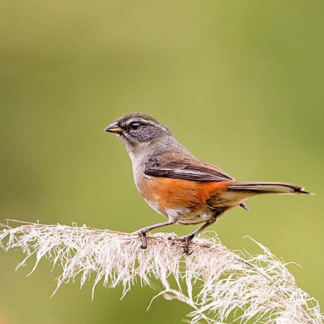 Gray-throated Warbling-Finch