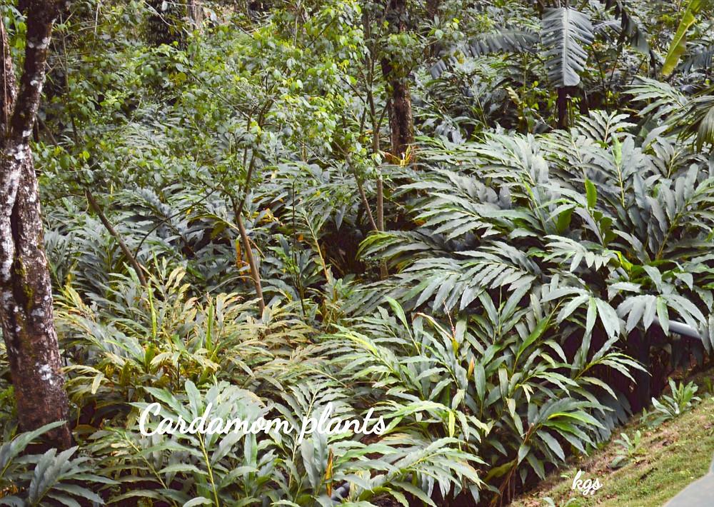 Cardamom plantation Thekkady