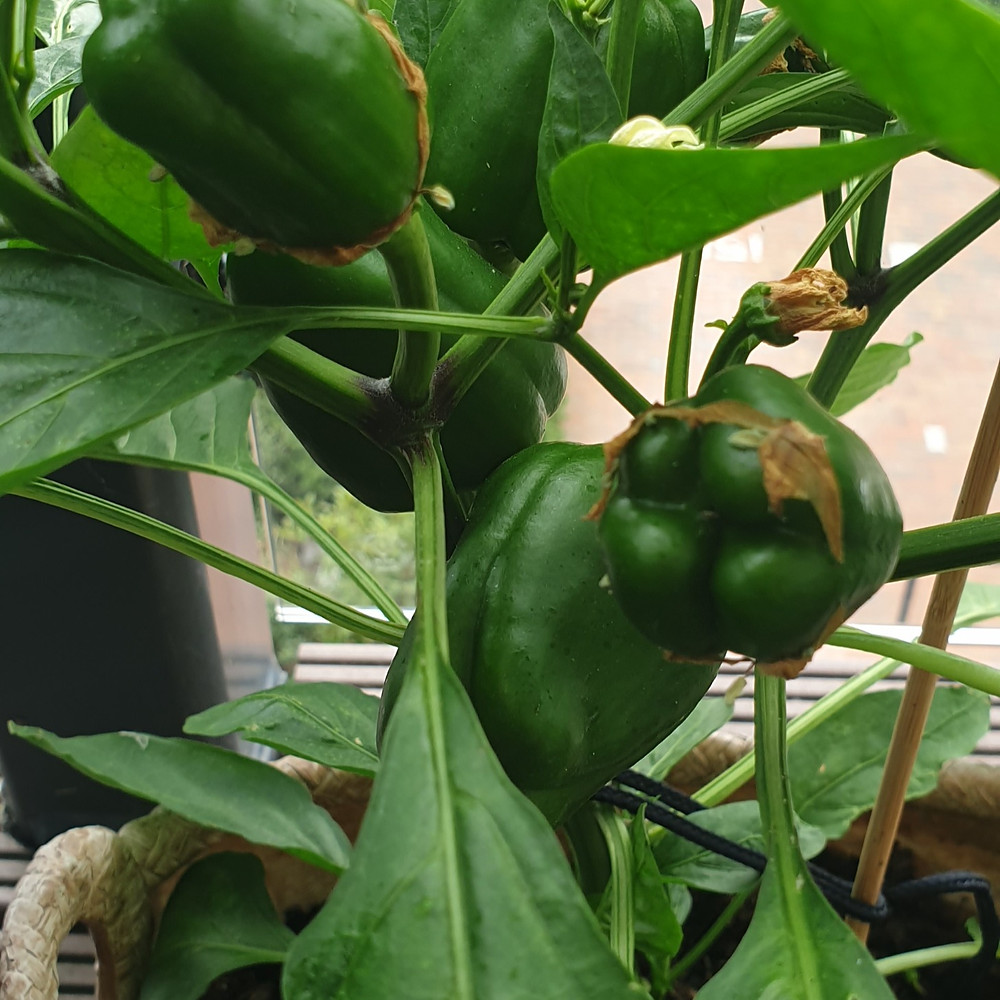 Sweet peppers growing on a pepper plant
