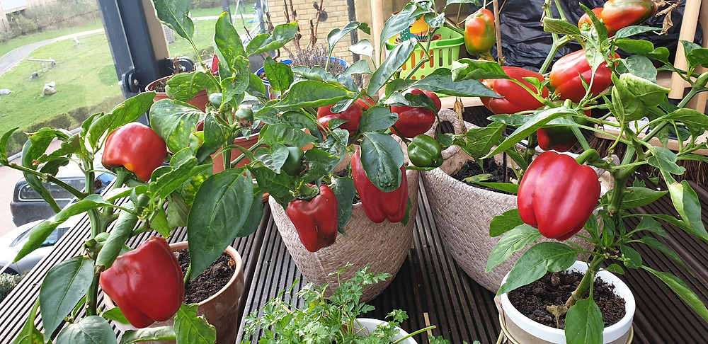 Red Peppers in Pots and balcony plants