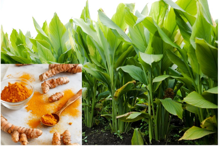 Turmeric plant and root