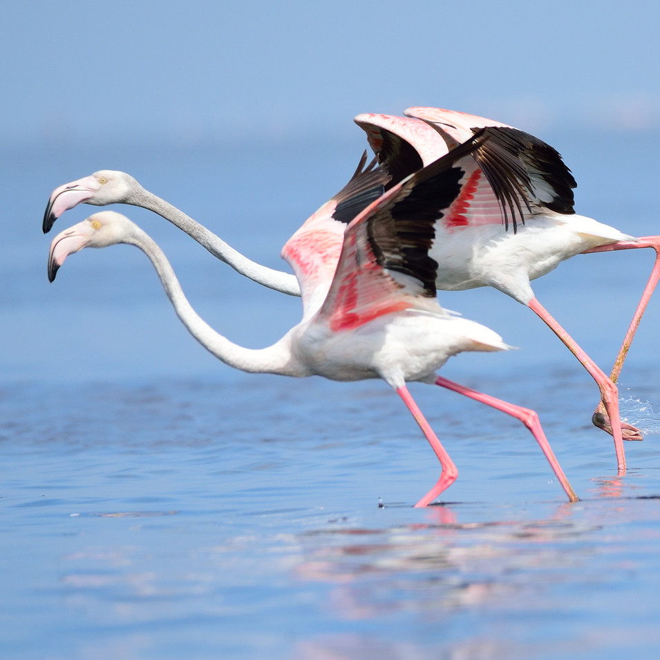 Pink Flamingoes at Pulicat