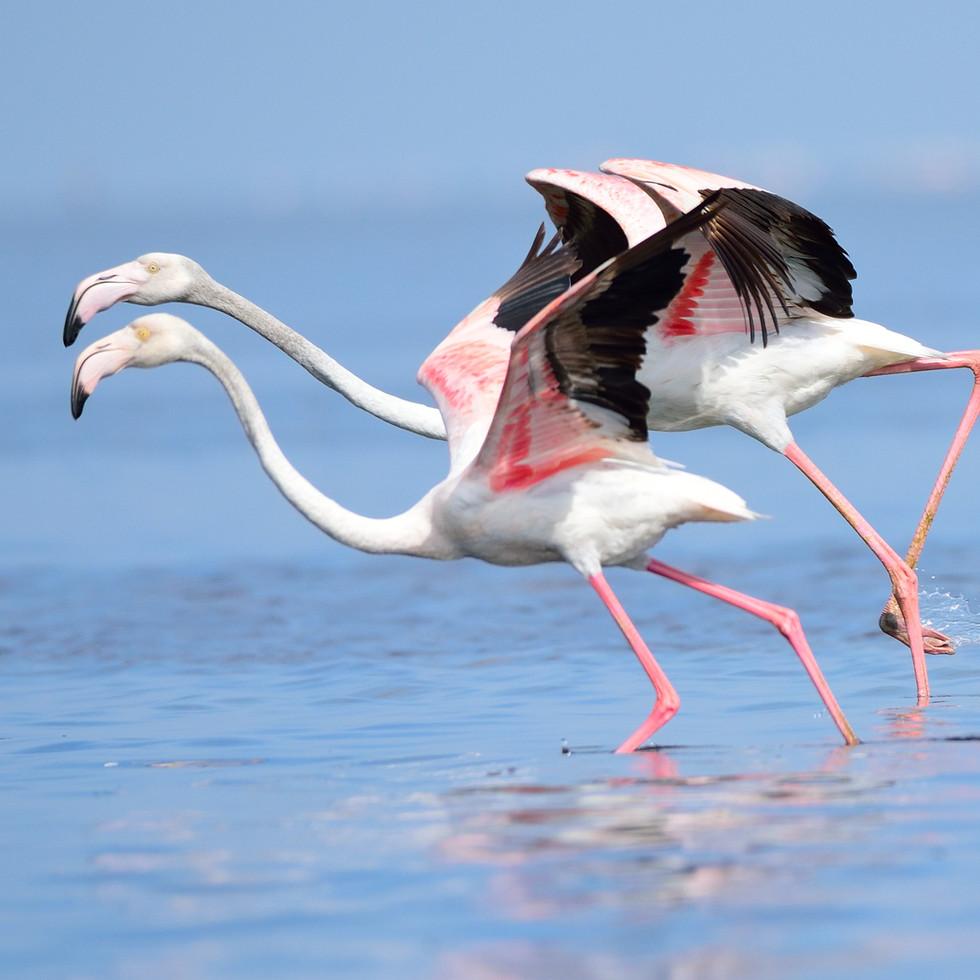 Pink Flamingoes at Pulicat