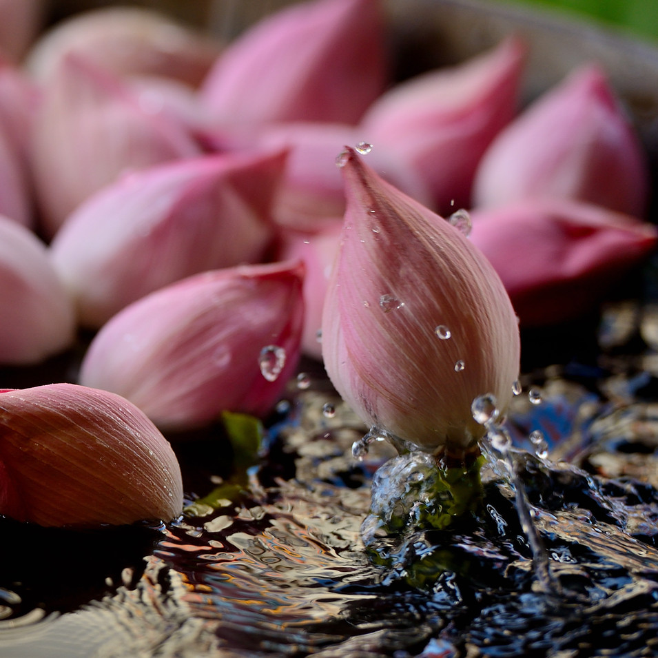 Lotus Buds in water