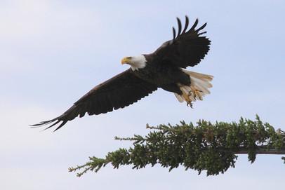 The American Bald Eagle