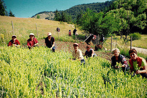Farmers hand-picking organic Mursalski tea