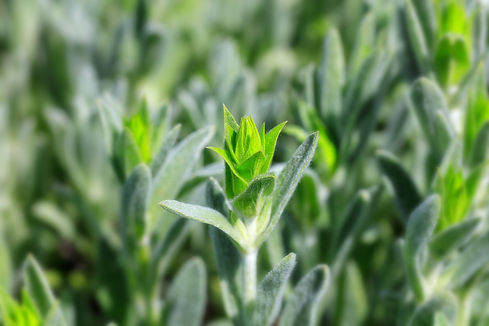 Young sprig of organic Mursalski tea
