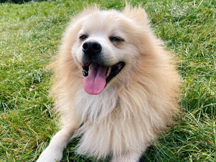 Hero, German Spitz x Japanese Spitz
