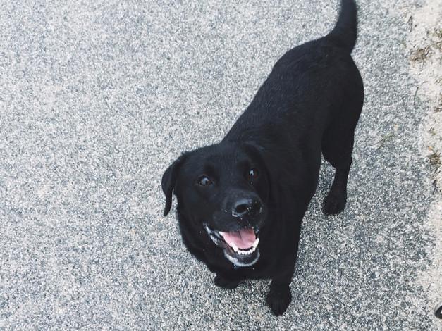 Holly, Labrador