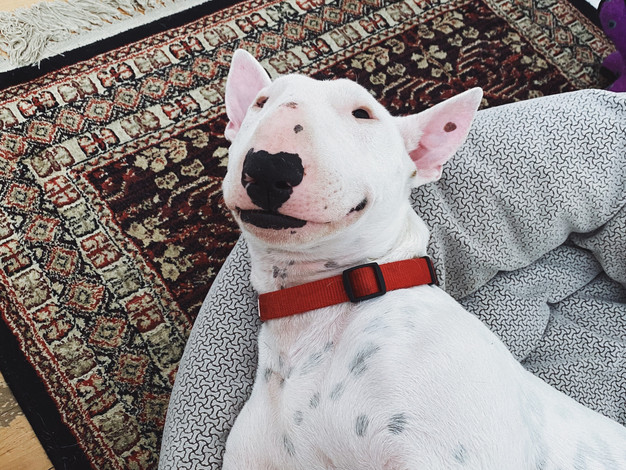 Hank, Miniature Bull Terrier