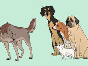 How has the Evolution of the Wolf Influenced the Behaviour of our Dogs?